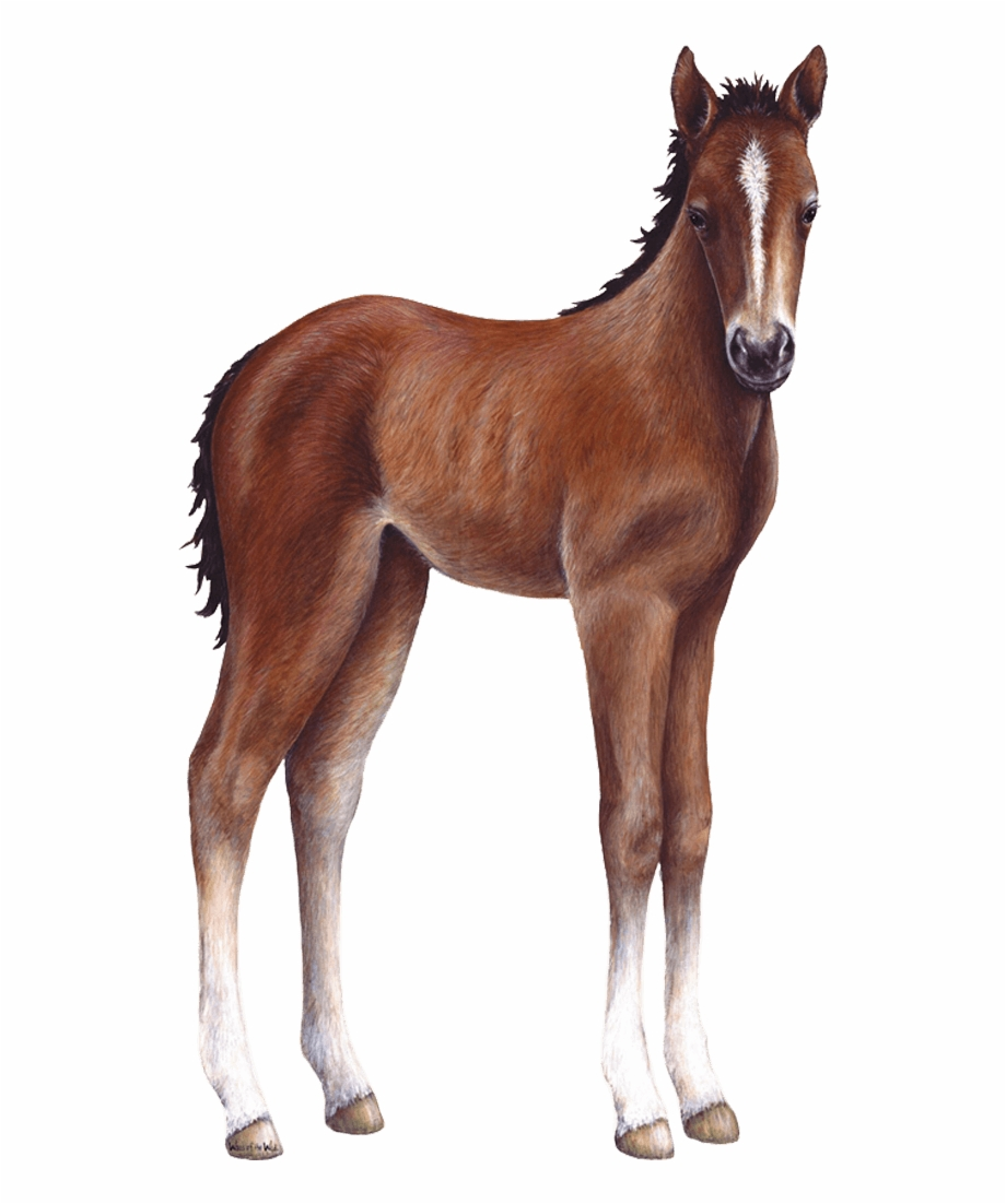 Foal Png Free PNG Images & Clipart Download #869141.