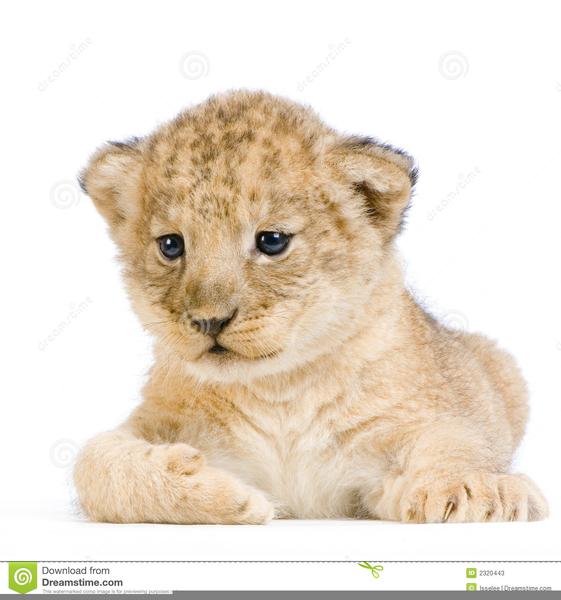 Lion Cub Clipart Free.