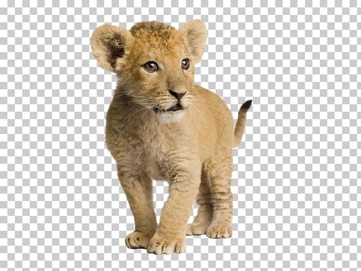 Lion Infant Cuteness , Cute little lion, brown lion cub PNG.