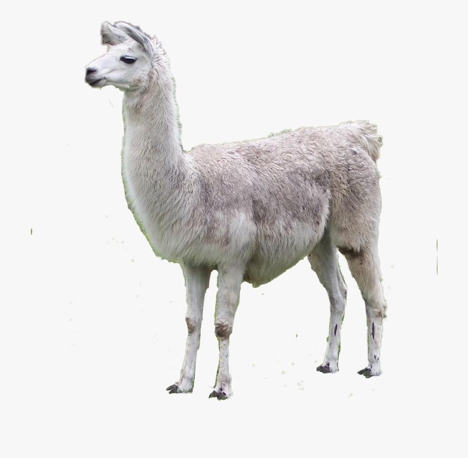 Llama Clipart Guanaco.