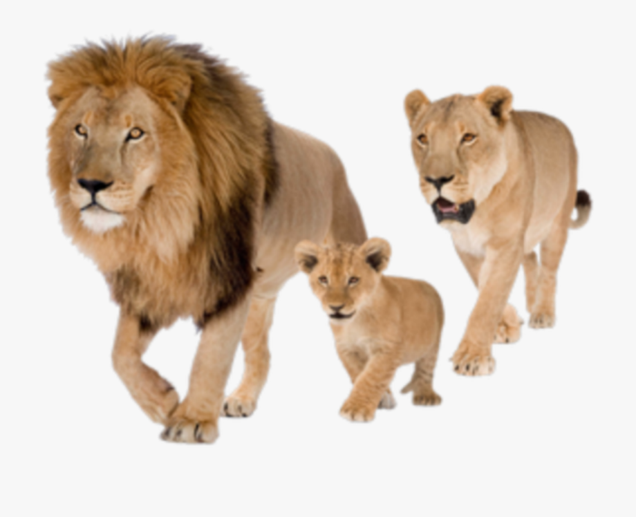 lion #wild #animal #cat #male #female #baby #family.