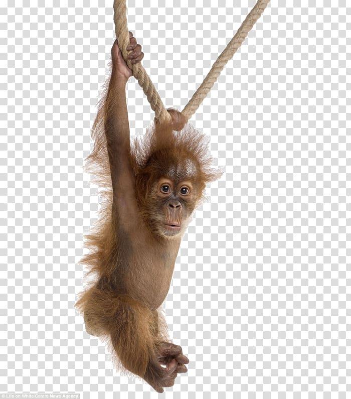 Gorilla Orangutan baby Baby Orangutans Sumatran orangutan.