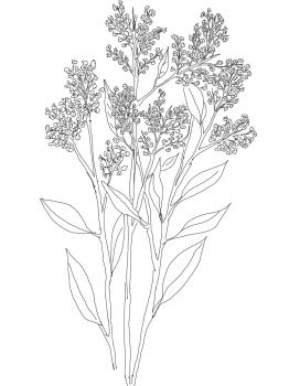 Gypsophila or Baby\'s Breath drawing..