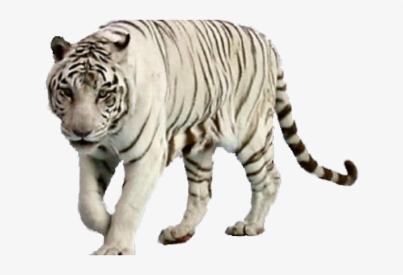 White Tiger Clipart Wight.