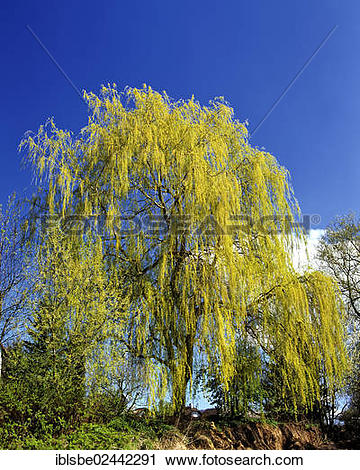 Stock Photography of Babylon Willow or Weeping Willow (Salix.