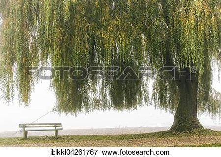 Picture of Babylon willow or weeping willow (Salix babylonica.