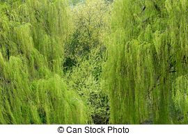 Stock Photos of Salix babylonica.