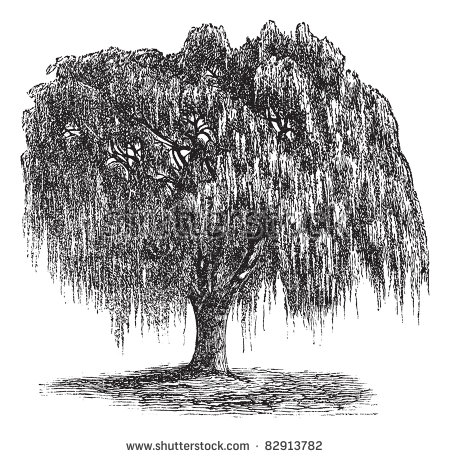 Vector Images, Illustrations and Cliparts: Babylon Willow or Salix.