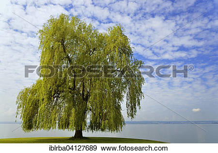 Stock Photograph of Weeping Willow (Salix babylonica) on Lake.