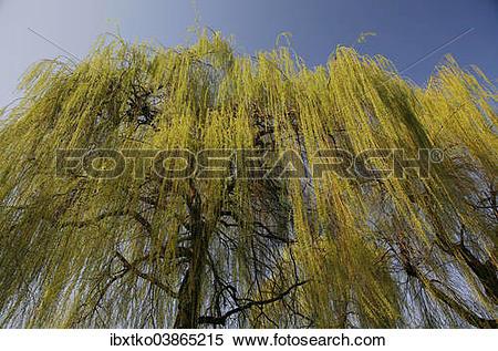 "Stock Image of ""Weeping Willow (Salix babylonica), pendulous."