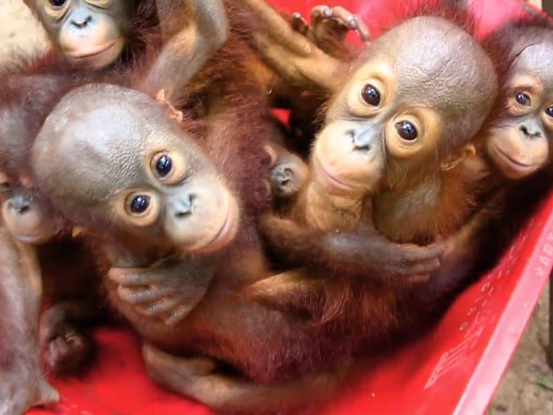 Baby Orangutans Primate Gibbon Chimpanzee, orangutan.