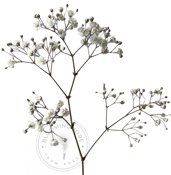Baby's Breath Png (111+ images in Collection) Page 3.