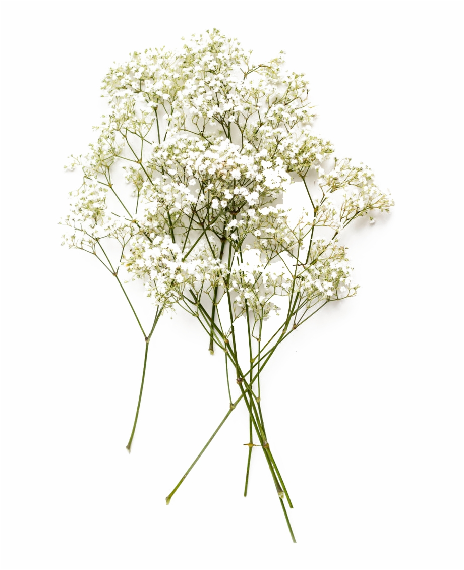 Baby's Breath Png, Transparent Png (121734 ).