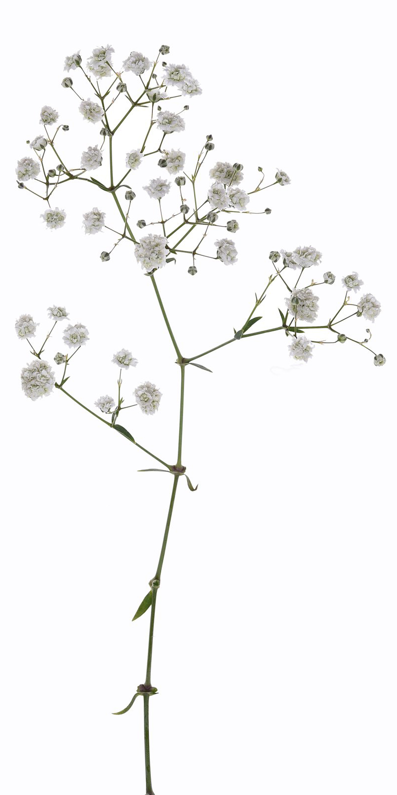 Baby's Breath Png (111+ images in Collection) Page 1.