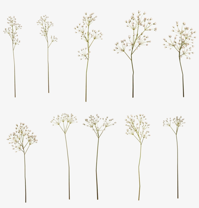 Baby Breath Flower Png PNG Image.