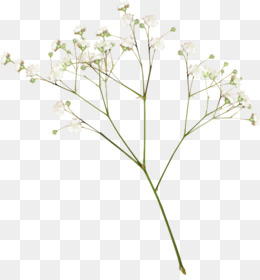 Baby Sbreath PNG and Baby Sbreath Transparent Clipart Free Download..