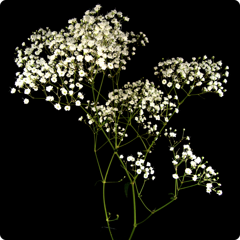 The baby's breath is dead ٩(๑`ȏ´๑)۶.