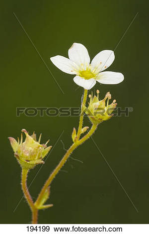 Stock Photograph of White Rock Rose (Helianthemum hybrid.