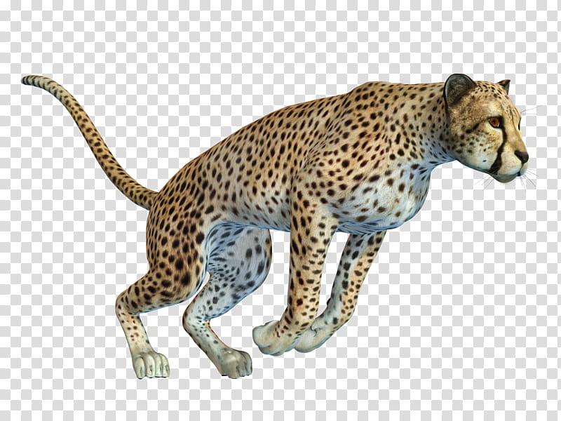 Cheetah , running cheetah transparent background PNG clipart.