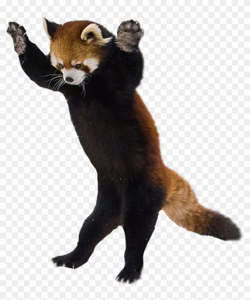 Red Panda On Hind Legs , Png Download, Transparent Png.