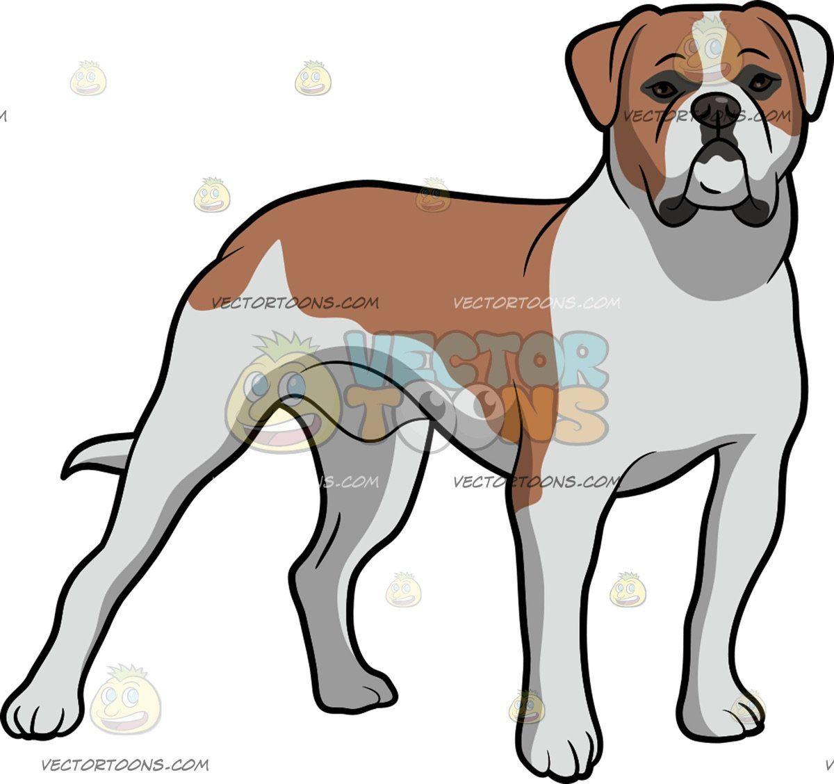 An American Bulldog Staring Ahead: An American bulldog with.