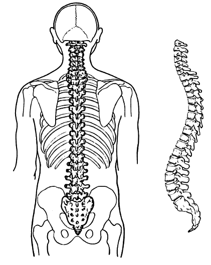 Back clipart back bone, Back back bone Transparent FREE for.
