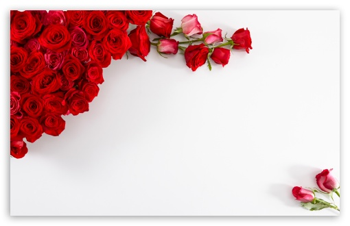 Red Roses on White Background HD desktop wallpaper : Widescreen.