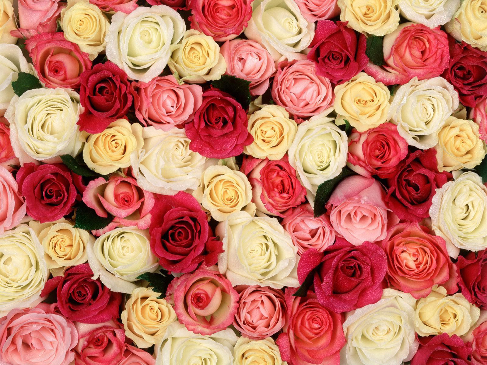 Roses Background.