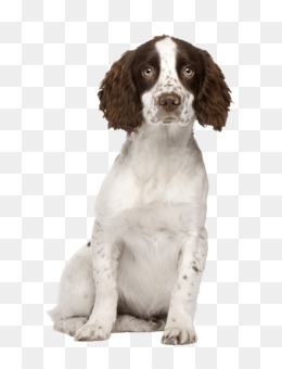 Welsh Springer Spaniel PNG and Welsh Springer Spaniel.