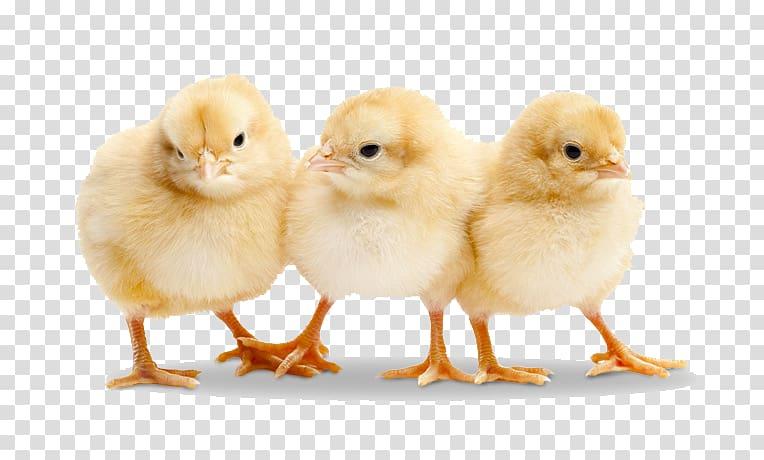 Three yellow chicken chicks, Chicken Duck Broiler Poultry.
