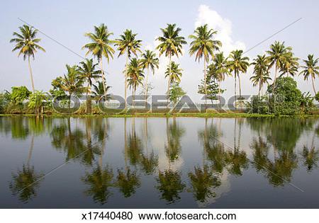 Stock Photography of India, Kerala, Alappuzha, palm trees (Palma.