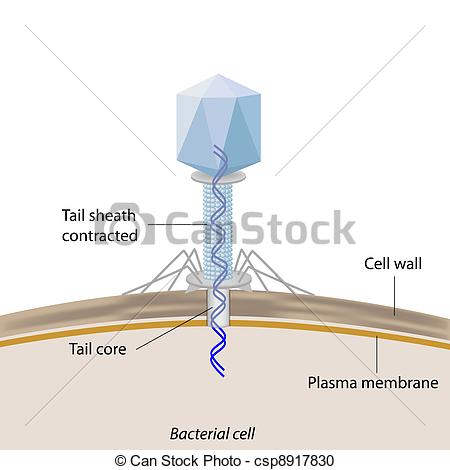Vector Clipart of Bacteriophage infecting bacteria.