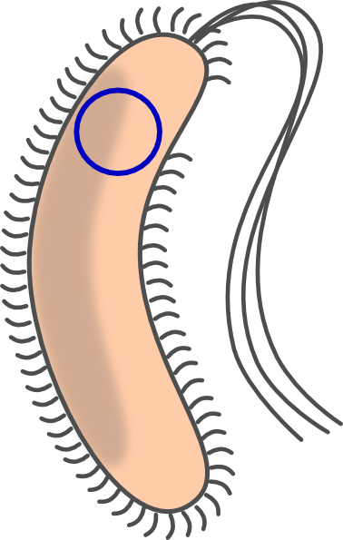 Transformed Bacteria With Flagellum Clip Art at Clker.com.