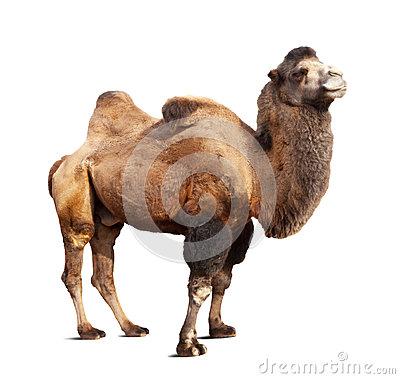 Bactrian Camel On White Background Stock Photo.