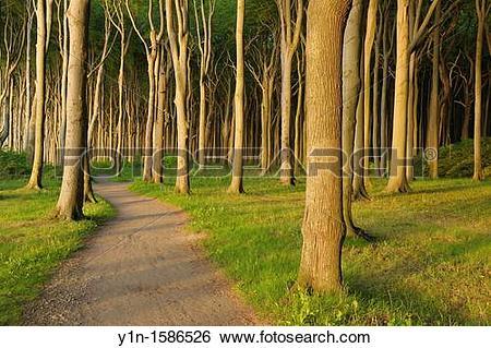 Stock Images of Path with Beech trees, Nienhagen, Bad Doberan.