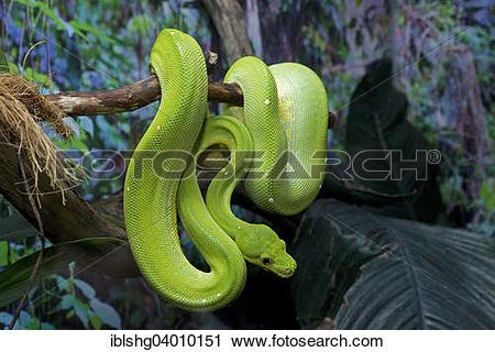 """Stock Photography of """"Green Tree Python (Morelia viridis."""