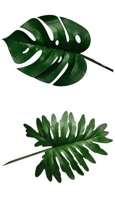 love the shape of the monstera leaf.