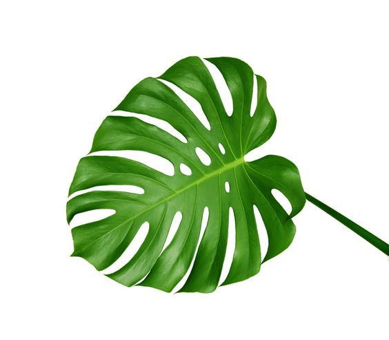 Monstera Leaves.