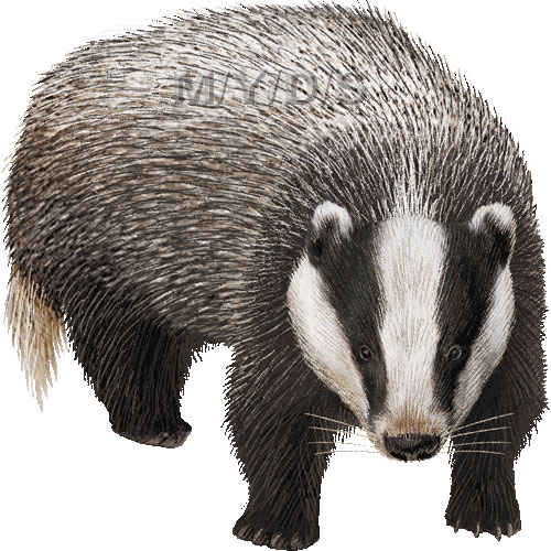 Badger Clipart.