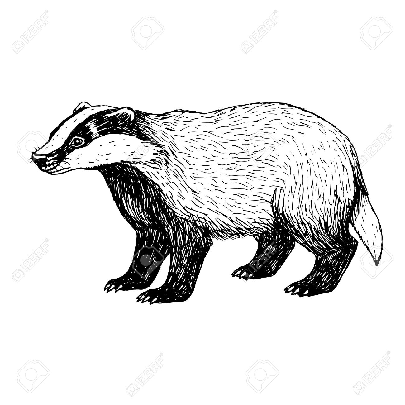 448 Badger free clipart.