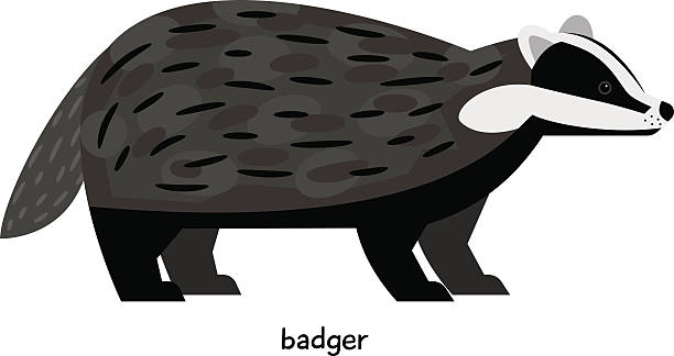 Best Badgers Pictures Pictures Illustrations, Royalty.