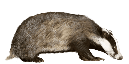 Badger Looking To the Right transparent PNG.