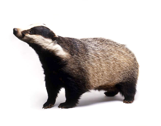 Png Of A Badger & Free Of A Badger.png Transparent Images #7205.