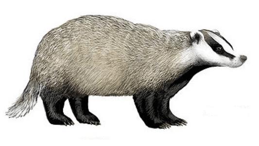 Badger PNG Images.