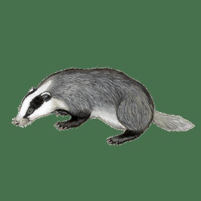 Badger Illustration transparent PNG.