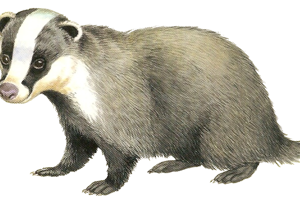 Download Free png Badger PNG, Download PNG image with transparent.