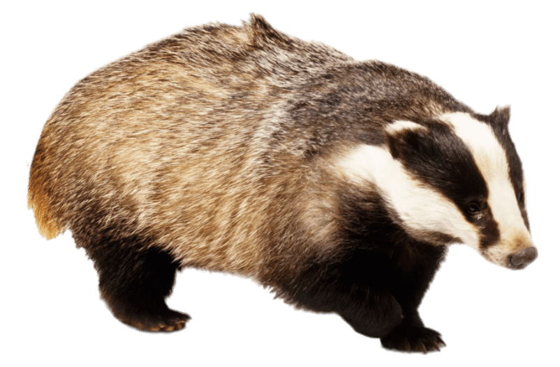 Badger With Front Paw Up transparent PNG.
