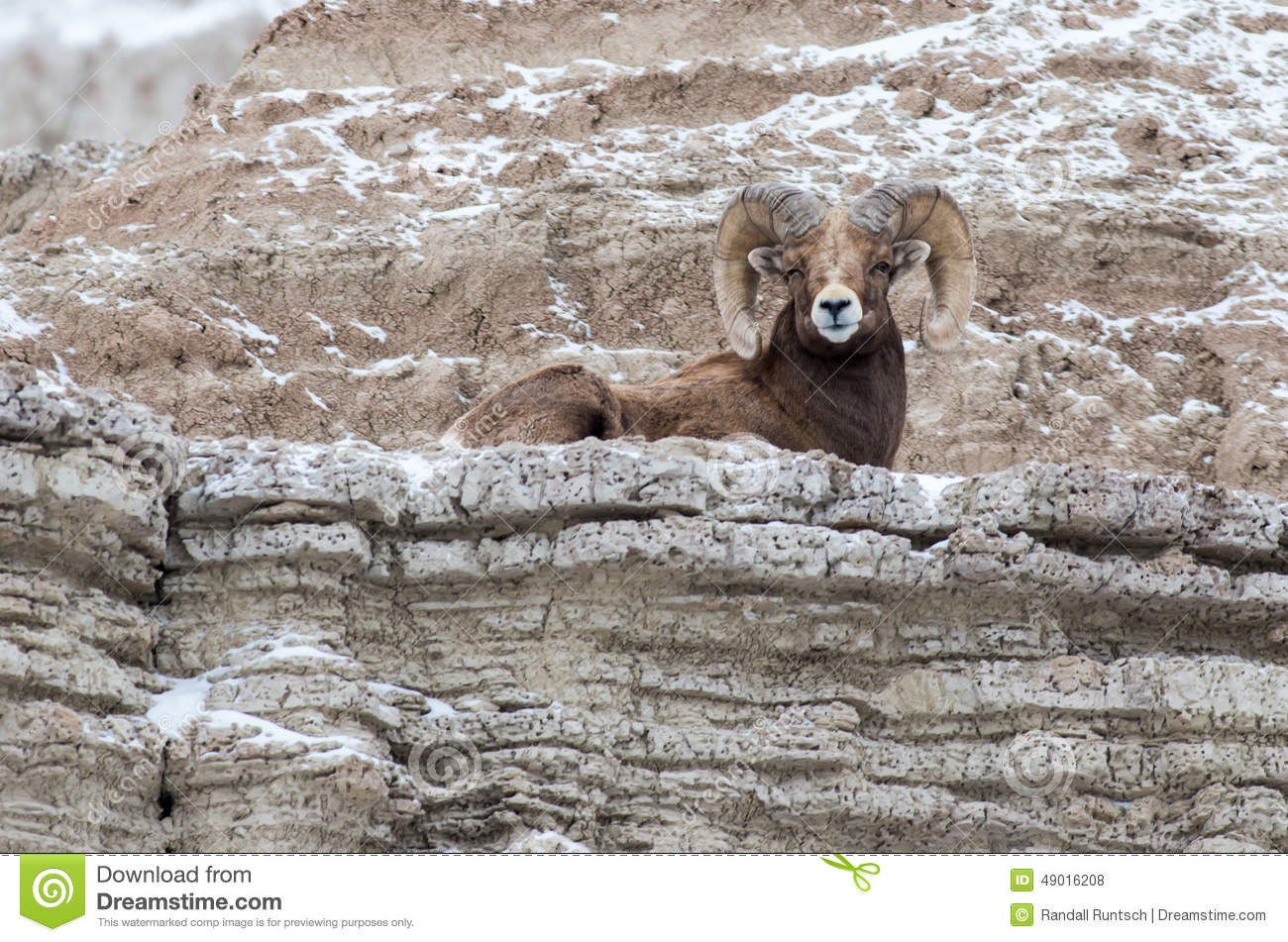 Bighorn Sheep Ram On A Cliff In Winter In Badlands National Park.