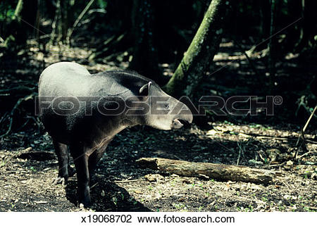 Stock Photo of Baird's tapir, Central or South America x19068702.