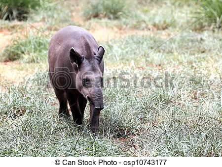 Picture of Bairds tapir walking through forest searching for food.